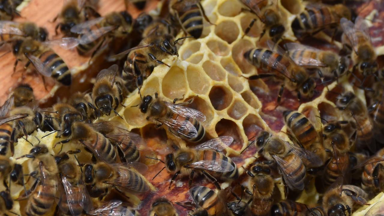 Apiculture Nouvel Essaim d'Abeilles Nougats Chiques Suce-miel Au Royaume Des Abeilles